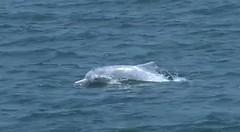 201105出現在台中港內的中華白海豚。照片擷取自簡毓群影像作品