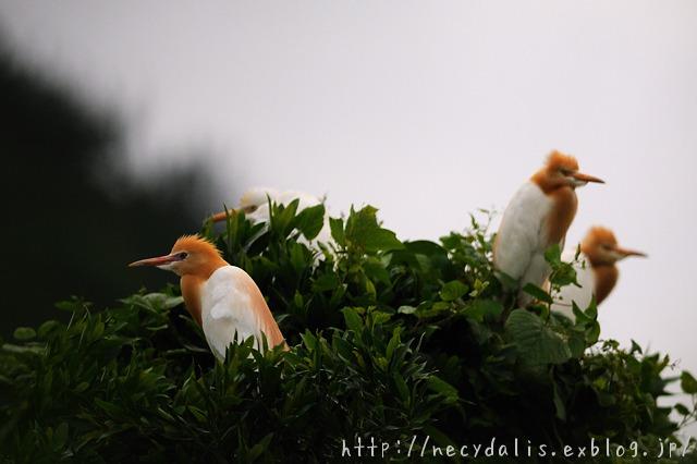 アマサギ [Bubulcus ibis]
