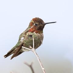 Anna's Hummingbird (Male) (bmse) Tags: anna canon chica hummingbird bolsa 56 salah 400mm bmse baazizi