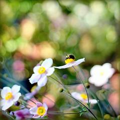 Life (Maureen F.) Tags: life flowers dedication book support friendship searchthebest bee anemone precious trust value battles ♥ encouragement japaneseanemone xoxoxox floweroticamembersagainstcancer yesyouhaveseenthisbeebeforeinasimilarpic
