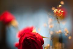 ... and then things got a little crazy (nosha) Tags: flowers winter usa flower nature beautiful beauty rose 50mm newjersey nikon bokeh f14 january nj surreal 2009 coma 50mmf14 lightroom nifty babysbreath d300 blackmagic nosha niftyfifty natureycrap nikond300 january2009