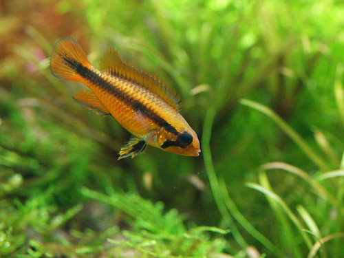 P3025483 藍體紅尾阿卡西