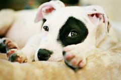 avril (.@ndy.) Tags: family dog black puppy mix spot taylor breed