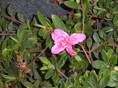 Azalea bloom (I think)