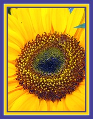 SUNFLOWER MACRO (IDIAY) Tags: flowers flores colors colores sunflower girasol paleta vibrantes wonderfulworldofflowers