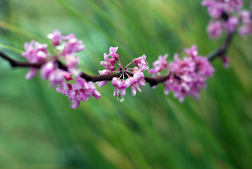 Red Bud Bokeh