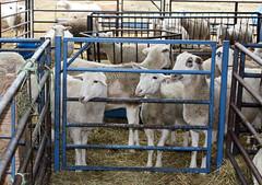 Pen of pregnant ewe lambs