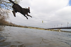 flight K-9 on departure (unfocused mike) Tags: dog water dallas jump dive retriever launch splash dogpark chewbacca chesapeakebay awesomeness whiterocklake hangtime