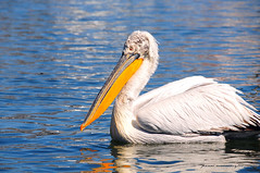 Pelican (Panos Mavromytis - ) Tags: niceshot pelican yellowbeak nikond300 pelicanblue