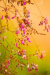 (Rodrigo Moraes ) Tags: planta nature dof natureza nikond70s stio leveza galhos fotgrafo lils simplicidade desfoque suavidade 70300mmg teleobjetiva profundidadedecampocurta rodrigomoraes