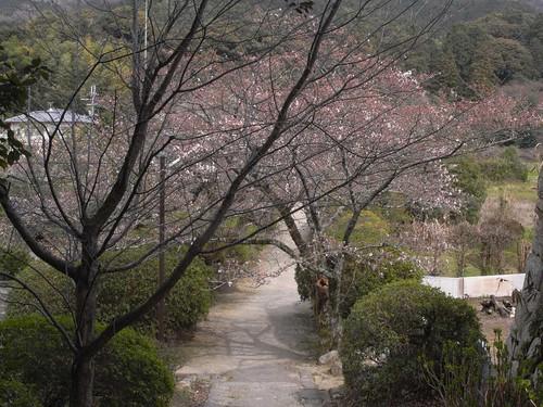 2009年-桜@山の辺の道-04