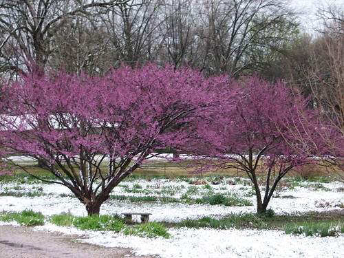 redbuds and snow along the driveway