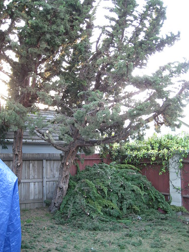 heavily trimmed Hollywood Junipers