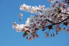 青い空、白い桜