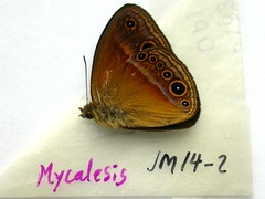 Mycalesis sp