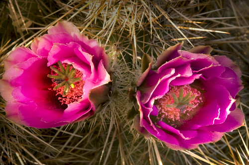 Purple Cactus Flower A