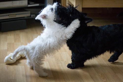 Scottie and Westie Puppies