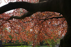 Begraafplaats Groenesteeg, the copper beech