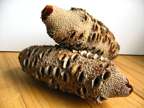 Banksia Nuts