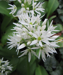 daslook (allium ursinum ) (marcella2/tovje) Tags: bergen noordholland april25 alliumursinum daslook tovje alliaceae marcella2