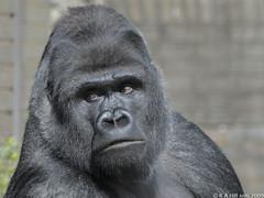 Bukavu looks around (gentle lemur) Tags: gorillagorilla blackpoolzoo
