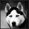 Sasha (Cygnus~X1 - Visions by Sorenson) Tags: blue portrait blackandwhite bw usa dog pet white black face animal canon fur nose eos spring eyes indiana ears explore siberianhusky 2009 selectivecolor monon whitecounty 50d ef70200mmf28lisusm platinumheartaward craigsorenson 20090506183505z