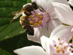 Abeille perchée en cueillette de pollen sur les fleurs d'un arbuste Viburnum
