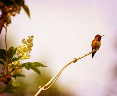 Out on a Limb (Peggy Collins) Tags: canada tree bird texture nature floral interestingness bush flora branch hummingbird britishcolumbia wildlife explore pacificnorthwest hummer penderharbour sunshinecoast avian textured endoftheline elderberry balancingact rufoushummingbird outonalimb birdonbranch elderberryflowers peggycollins skeletalmess