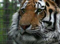 My name is Vitali (JoLoLog) Tags: canada calgary zoo joe alberta tigers siberiantiger calgaryzoo amurtiger vitali canonxsi flickrbigcats