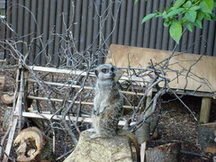 meerkat standing upon a rock (fridge eater) Tags: beach zoo devon monkeys compare watchman dawlish meercatcom