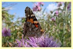 Vanessa cardui (PheCrew) Tags: macro photoshop bug insect phe soken senourrir