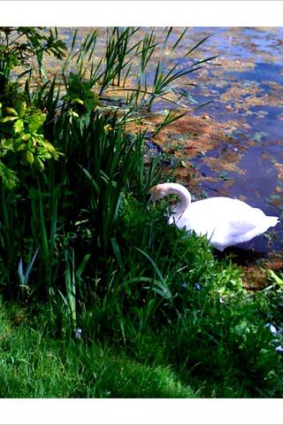 killer swan