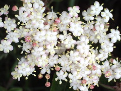 Elder flower (?) (Helmaron) Tags: pink white blossom shrub wildflower naturesfinest elderflower