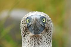 Damn fly... (brodmann's 17) Tags: island galapagos booby espanola bluefooted mygearandme mygearandmepremium