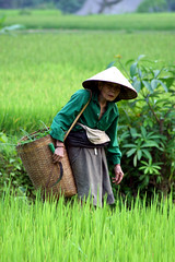 Working in field  Mai Chu (Jules1405) Tags: world old travel woman field hat asian asia vietnamese rice paddy working vietnam viet mai asie nam asiatique conic reflectionsoflife vietnamien chu lovelyphoto jules1405 unseenasia