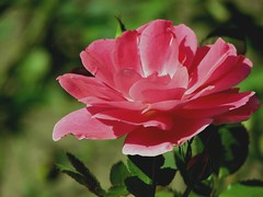 Rosa rosa ( Popotito ) Tags: naturaleza flower color nature argentina beautiful rose mar photo buenosaires colorful foto photographer vibrant flor rosa scout explore linda provincia rosada pampas naturesfinest mardelaspampas topshots fantasticflower masterphotos popotito excellentsflowers natureselegantshots theperfectpinkdiamond saariysqualitypictures