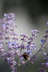 Parc Floral - Vincennes-55 (MissDogo) Tags: paris macro fleur closeup animaux parc insectes vincennes parcfloral bourdon proxyphoto hym hyménoptères hymnoptres