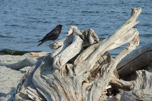 crow and driftwood