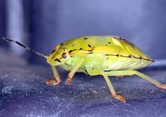 Green Stink Bug (Brian E Kushner) Tags: green bug insect newjersey backyard nikon wildlife brian flash nj nikkor soe d3 ringflash audubon kushner 105mm greenstinkbug supershot nikon105mmf28gedifafsvr nikond300 goldstaraward rubyphotographer chinaviahilaris audubonnj ©brianekushner