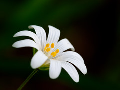 Stitchwort (Rafe Abrook Photography) Tags: white flower macro yellow spring sigma olympus petal stamen bloom greater e3 stitchwort 150mm bestofblinkwinners