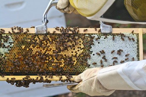 Frame of Pollen, Brood, and Honey