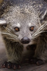 Binturong (Lunatique-girl) Tags: original portrait brown paris nature face animal fauna gris eyes pentax natur oeil yeux moustache regard binturong arctictisbinturong jardindesplantes faune truffe pentaxkx museau chatours viverridae arctictis flickraward mygearandme