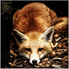 Foxy! (Samantha Nicol Art Photography) Tags: portrait nature look animal square dof bokeh fox stare samantha nicol