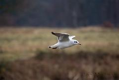 Bird in Flight (YorkieBen) Tags: clumberpark 70300mmgssm