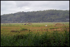 DSC05915 (xtaongbundok) Tags: cow rice farm philippines rizal overlook palay lagunalake carabao