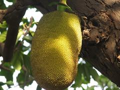 Jackfruit At The Royal Palace - Phnom Penh, Cambodia (glazaro) Tags: city tree fruit asia cambodia seasia cambodian khmer capital royal palace tropical phnompenh southeast jackfruit