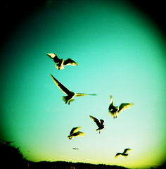 Avian Agility (liquidnight) Tags: seattle park seagulls colour 120 film birds mediumformat freedom holga wings xpro feeding kodak gulls birding flight free slidefilm agility crossprocessing kodake100vs ektachrome birdwatching e100vs frenzy goldengardens larus agile 120cfn occidentali greenshift