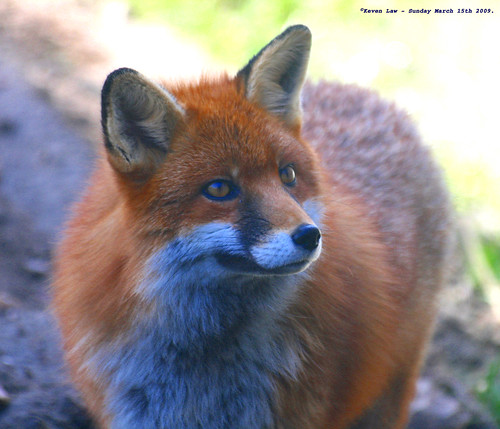 She's a Fox...:O)) by law_keven.