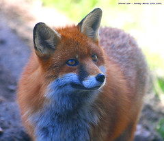 She's a Fox...:O)) (law_keven) Tags: red england animal animals kent furry critter fox furryfriday wildwood redfox blueribbonwinner explore500 abigfave anawesomeshot goldstaraward