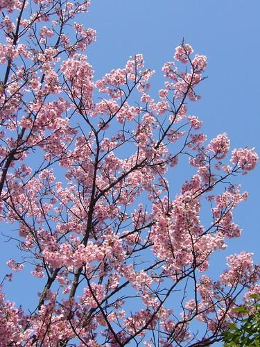 寒緋桜-1